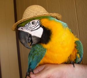 parrot_in_a_hat-sm[1]